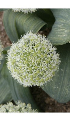 IVORY QUEEN (Allium Karataviense)